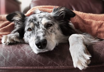 Anemia in Dogs, Greensboro Vet